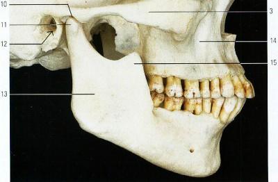 Зубы зубья колени колена